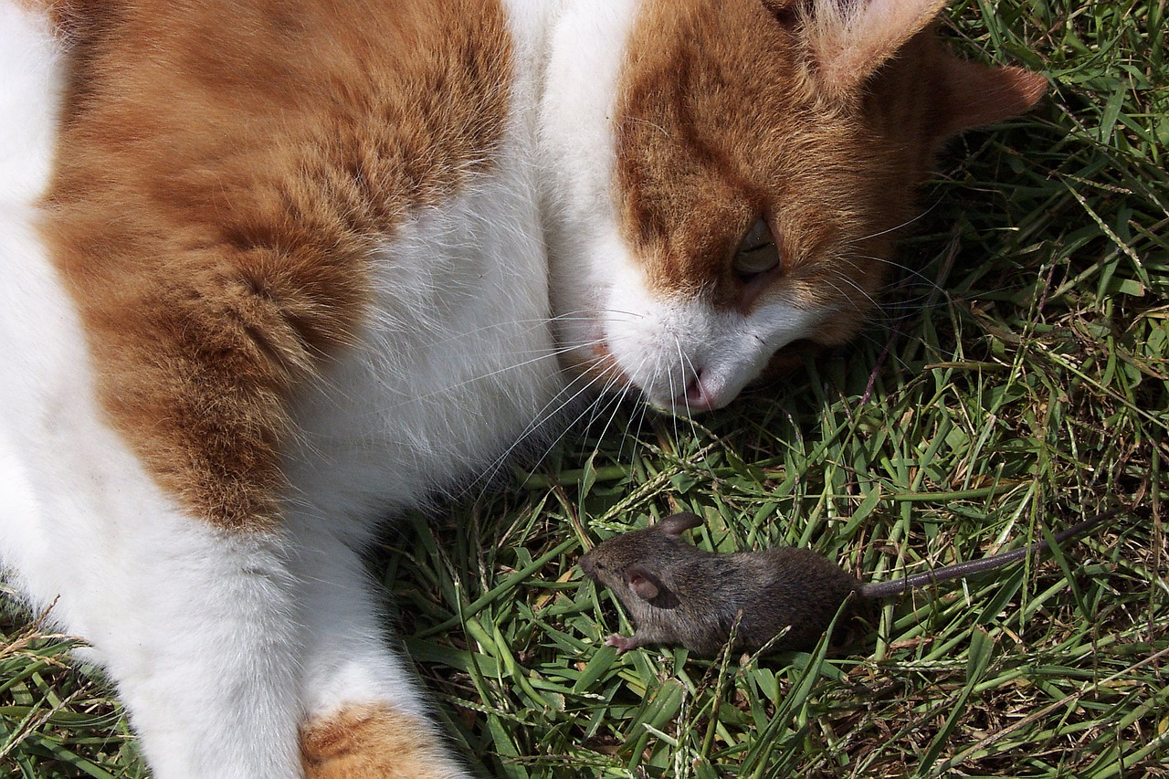 A cat looks at a mouse